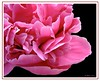 Happy Birthday Mimbrava (Jo Ann 315) Tags: pink flower dedication bravo searchthebest quality jo peony mimbrava ann 315 excellence blueribbonwinner happybirthdaymimbrava joann315 abigfave outstandingshot impressedbeauty superaplus aplusphoto flickrplatinum colorfhotoaward