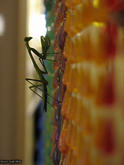 Praying mantis on kitchen curtain 2