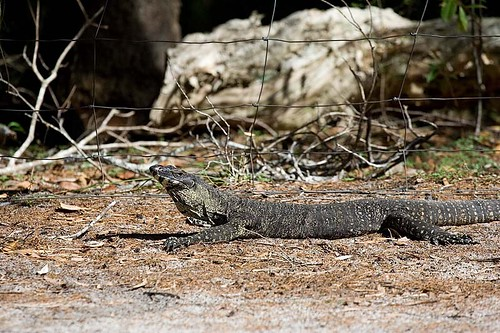 Lace Monitor 1 at Harry's Hut