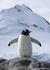 Proud Gentoo Penguin