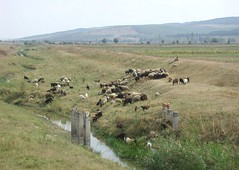 Communal grazing in Moldova