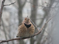 fat flicker