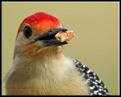 "Have a ""Nutty"" Friday! (Momba (Trish)) Tags: red bird birds woodpecker nikon tennessee redbelliedwoodpecker nikkor soe momba hff nikond200 featheryfriday interestingness34 i500 nikonstunninggallery explore02february2007 avianexcellence"