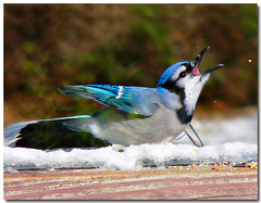 The Cry of Victory (dee_r) Tags: wow bravo searchthebest bluejay top10 flickrland supershot featheryfriday specanimal animalkingdomelite colorphotoaward impressedbeauty thewinnerandstillchamp catchycolorsflickrish fl0509