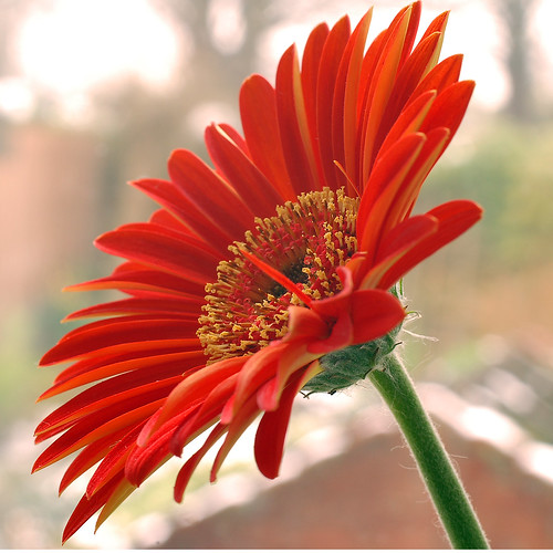 Gerbera - immagine tratta dal web (by Polandeze - Flickr)