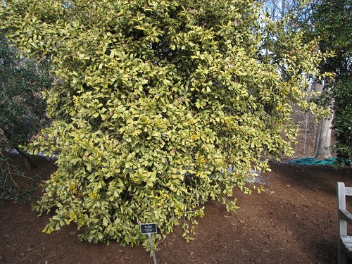 image Ilex cornuta 'O. Spring'