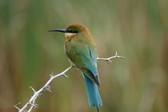 Blue Tailed Bee Eater (Patrick Costello) Tags: bird d50 explore srilanka bluetailedbeeeater specnature bundala animalkingdomelite abigfave anawesomeshot impressedbeauty avianexcellence
