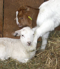 Lamb and goat