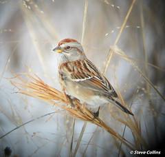 American Tree Sparrow (Odephoto) Tags: pa sparrow americantreesparrow spizellaarborea chestercounty spizella colorphotoaward strublelake spizelloidesarborea