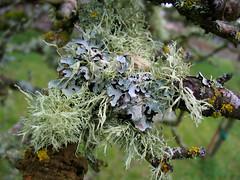 Lichen on a Cloudy Day (kim***) Tags: plant tree green oregon moss branch eugene lichen