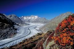 Aletsch glacier (j-kurisu) Tags: autumn mountains alps landscape schweiz switzerland swiss herbst glacier alpen gletscher eis landschaft wallis aletsch aletschgletscher heidelbeeren