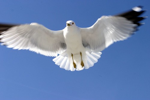 flying Ring-billed Gull (Larus delawarensis) at Tybee Island, page 54, vol 2 Audubon Guide