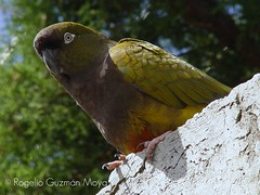 Loro (Rogelio Guzmn-Moya) Tags: aves loro top20bokeh rogelioguzmnmoya philidor2001
