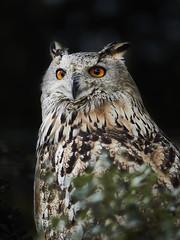Owl (Michael Guthmann) Tags: em1markii omd omdolympus omdmark2 75mm 75mm18 75mm118 mzuikodigitaled75mm18 mzuikodigitaled75mm owl bird ronda omdrevolution