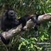 Mantled Howler Monkey, Alouatta palliata