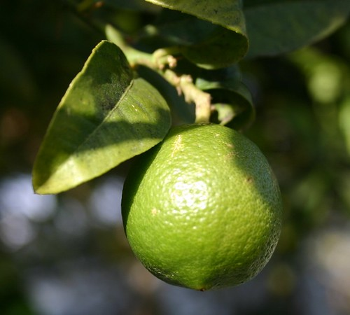 lime (venice canals)
