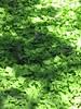 Shadowed Ivy - Oregon Coast (pomegranatecreations) Tags: bestnaturetnc06