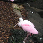 Knoxville zoo - spoonbill, different angle thumbnail