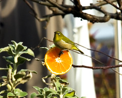 庭の木に刺したオレンジにメジロがきました。