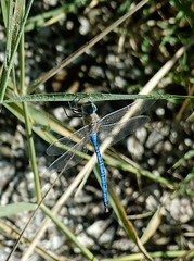 Blue Emperor dragonfly (Bob Reimer) Tags: dragonfly resting oman anisoptera anaximperator blueemperor khutwah enhg wilayatmahdah