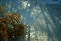 Ice Shadows (MaureenShaughnessy) Tags: blue winter light red orange cold color texture ice nature pond montana shadows seasons natural patterns branches clarity textures wetlands grasses form rebelxt glimmer winterlight thegreatoutdoors qualityoflight textural ggss inference coldseason seasonalcolor winterblues airisalive seasonalrhythms verylateinthedayhardlyanylightshotlowtothegroundinthedarkestpartofthewetlandmarsh seasonalrhythmscolorwinter seasonalrhythmswinter moodsofwinter seasonalform