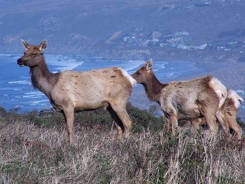 20070107 Tule Elk