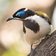 Blue-faced Honeyeater (Jon Thornton) Tags: wild bird nature birds animal nikon d2x australia bluefacedhoneyeater honeyeater entomyzoncyanotis australianbirds hattah jonthornton