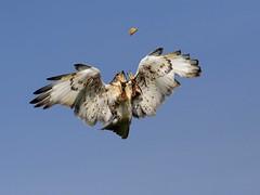 Showing off at dinner time (*simonw*) Tags: bird animal animals hawk raptor buzzard soe ferruginous specanimal shieldofexcellence anawesomeshot empyreananimals