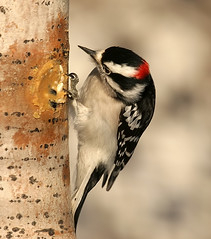 ...I wonder what he has in this Stuff...? (Random Images from The Heartland) Tags: chris bird nature birds ilovenature woodpecker downywoodpecker picoidespubescens wildlife aves bailey downy suet chrisbailey backyardbirds ilovewoodpeckers downymale chrisbaileyimages