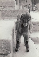 Long Eared Nubian Kid in Varanasi (Bill(iudshi8uf)) Tags: india goat varanasi benares