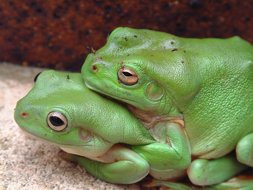 Baby dumpy tree frog - photo#6