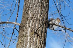 IMG_2883dxo (jeanpierrelavoie) Tags: hiver arbre 2007 cureuil