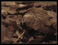 Les feuilles mortes (tonykuki) Tags: sepia hojas dof otoño tonykuki ltytrx5 ltytr2 ltytr1 a3b