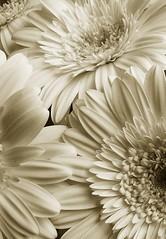 rays (hanna.bi) Tags: bw white flower detail blanco fleur closeup ray flor cream petal gerbera daisy cheerful fiore bianco margherita