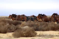 Wild Horses... (Shemya) Tags: horses kazakhstan  tengiz