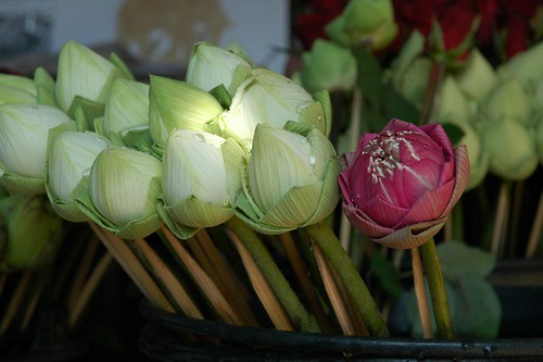 New Year's Lotus Flowers - Chiang Mai