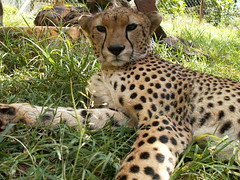 Cheetah @ Animal Orphanage in Nairobi National Park