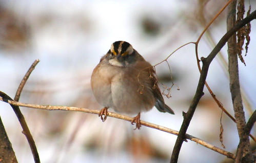 white-throated sparrow 06