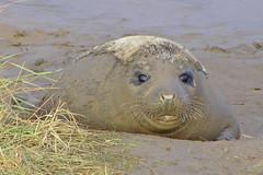 mud bath (Sam and Ian) Tags: sea beach nature animal cub wildlife seal seals wildanimal englishnature donnanook superbmasterpiece