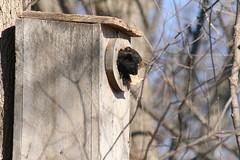 squirrels in tree house (Mike @ Iowa Voice) Tags: digital canon lens island 350d rebel xt squirrel lock dam 14 sigma iowa davenport 70300mm smiths leclaire