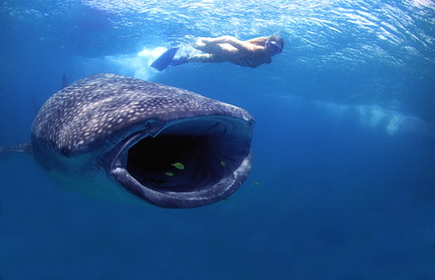 Whale Shark and Snorkeller in Sodwana Bay, South Africa