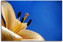Nature (Mara86) Tags: naturaleza flower color macro nature lafotodelasemana petals bravo dof lily searchthebest flor lirio desenfoque profundidaddecampo petalos supershot nikond80 anawesomeshot impressedbeauty lfs022007