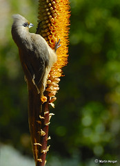 Mousebird on Aloe - by Martin_Heigan