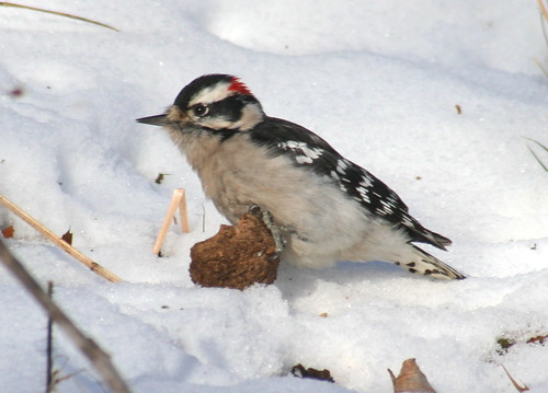 downy woodpecker in snow