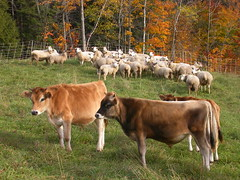 Co-grazing in Vermont