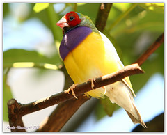 Lady Gouldian Finch (Fraggle Red) Tags: bird nature florida finch aviary butterflyworld coconutcreek canonef70200mmf28lisusm ladygouldianfinch specanimal animalkingdomelite avianexcellence wingsoftheworldaviary