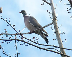 Woodpigeon in Russia Dock Woodland