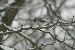 Tufted Titmouse (NoAnchovies) Tags: titmouse tufted