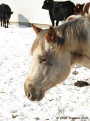 Sonny (steffofsd) Tags: horse animal southdakota canon pony poa stud stallion equine ponyoftheamericas