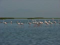 Parading flamingos!